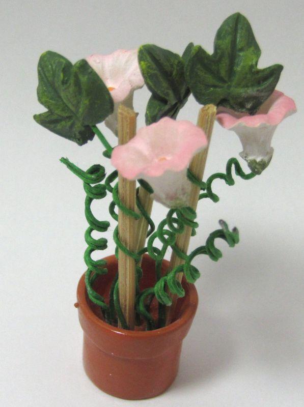 画像1: 朝顔鉢植え(特価)