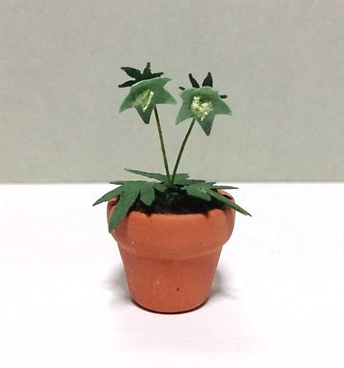 画像1: クリスマスローズ鉢植え 小