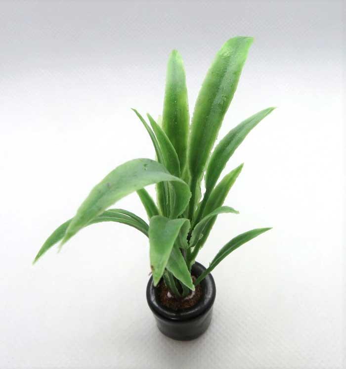 画像2: 観葉植物・ドラセナ