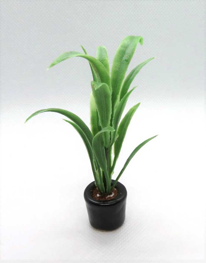 画像1: 観葉植物・ドラセナ
